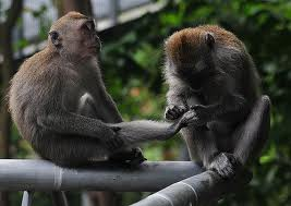 monkey appearing to get pedicure from other monkey