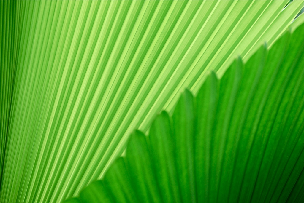 Palm fronds, Singapore Botanic Garden