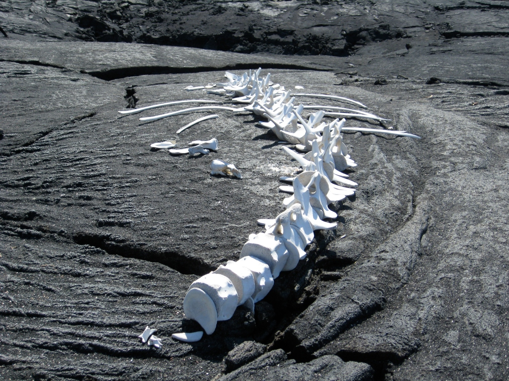 Bleached whale skeleton, Galapagos Islands, Ecuador