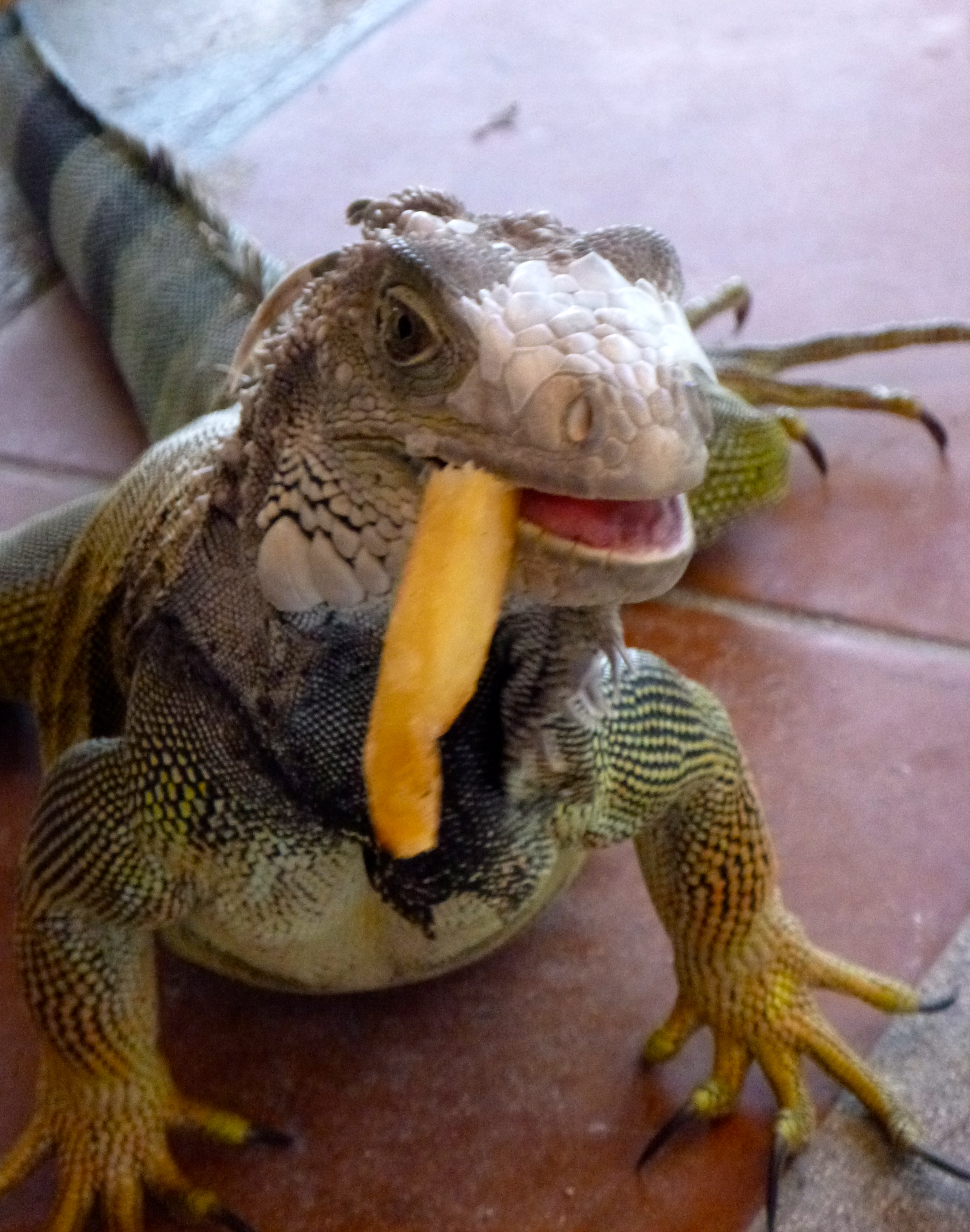 Iguana eating a French fry