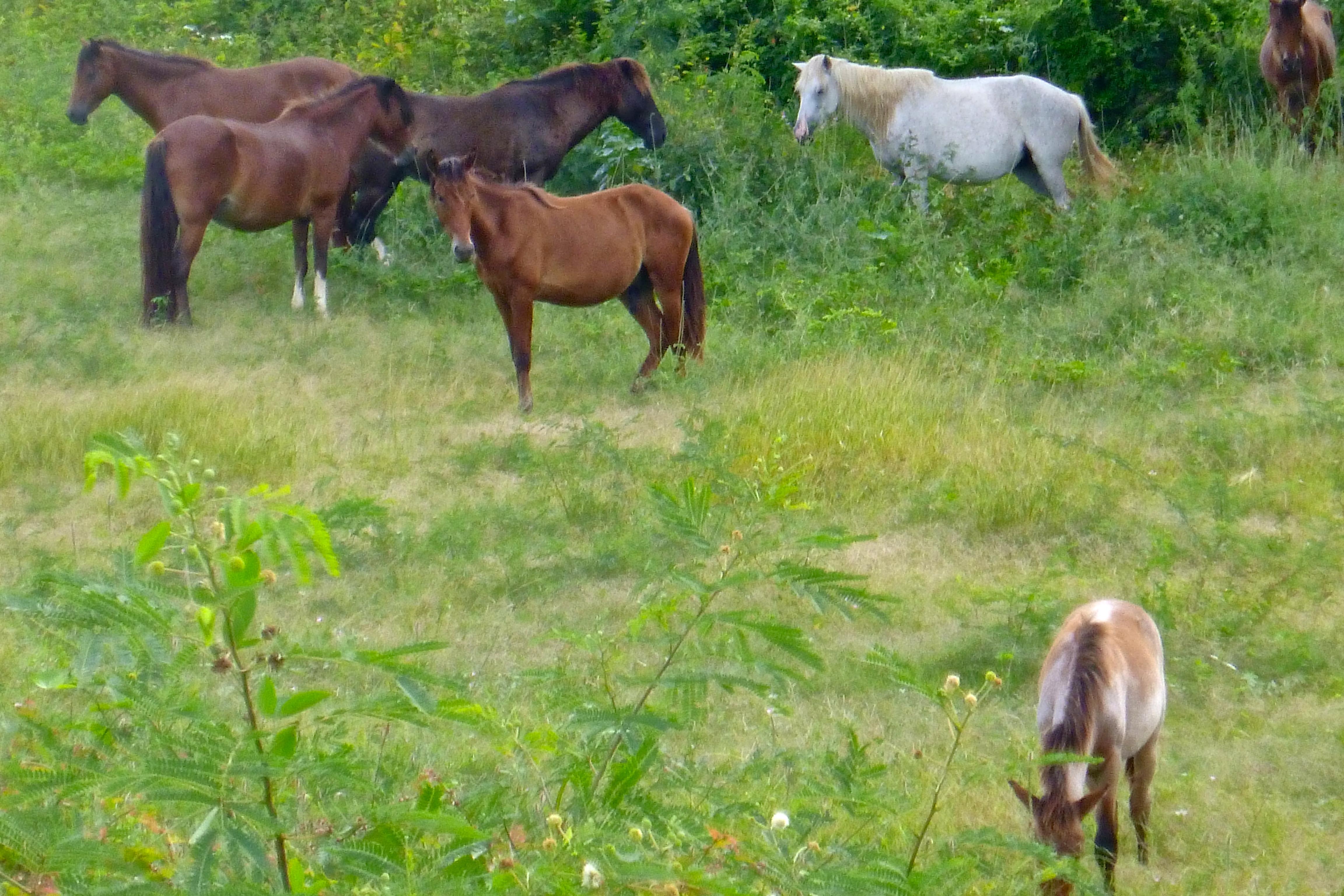wild horses Viequez Puerto Rico
