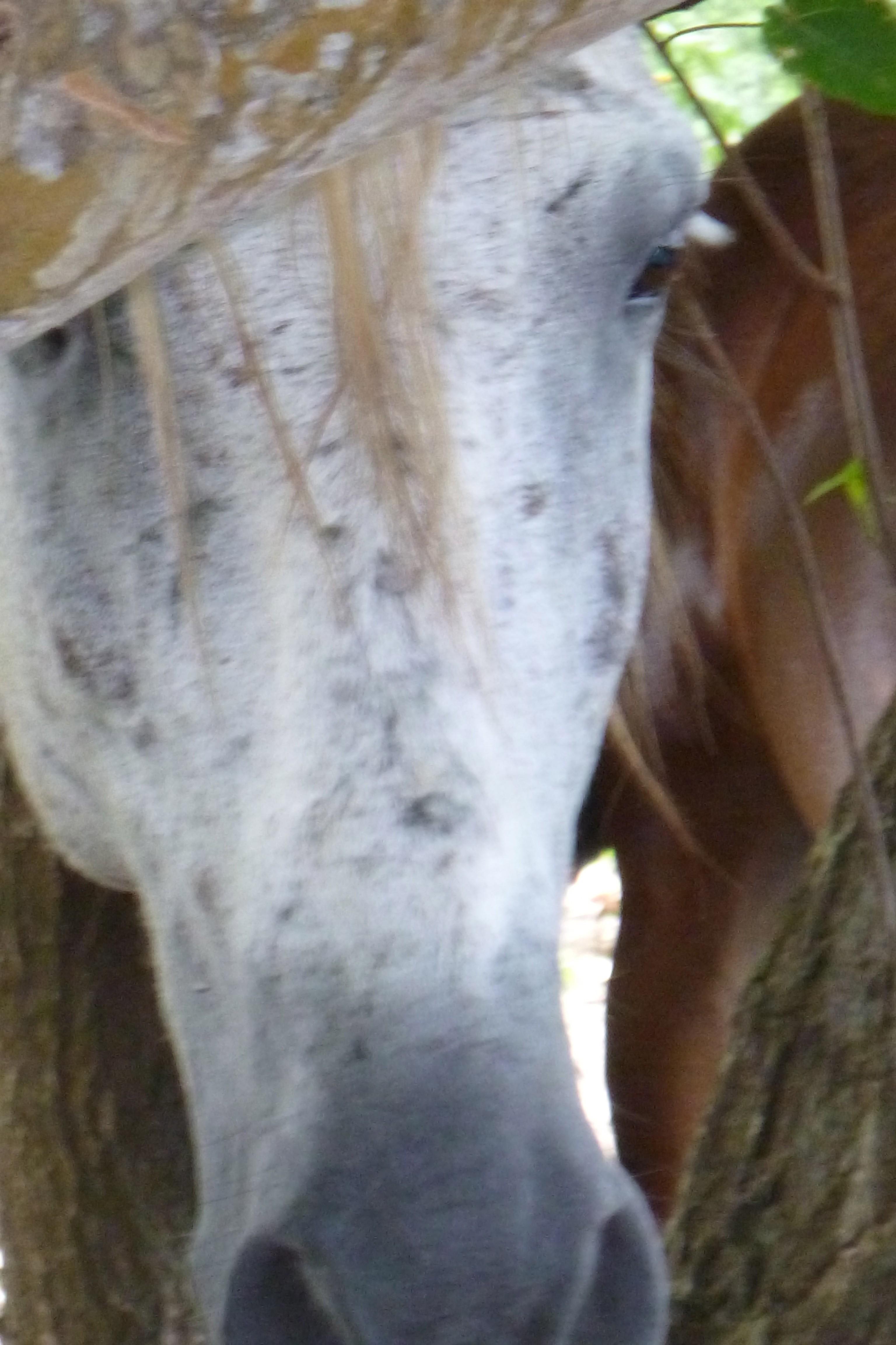 wild horse on Viequez