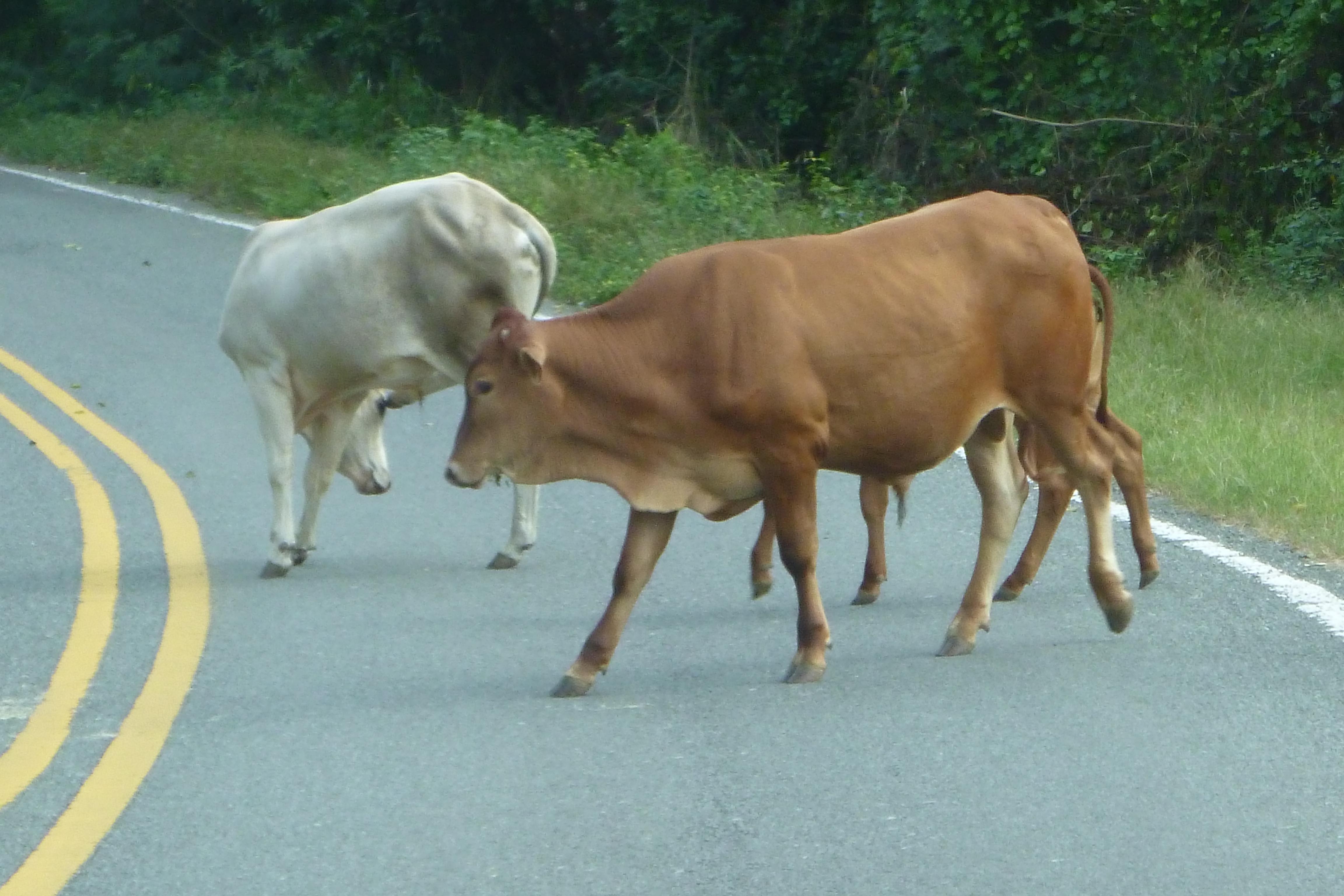 Cows crossing road in Vieques, Puerto Rico