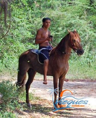 Paso Fino horse on Vieques Puerto Rico