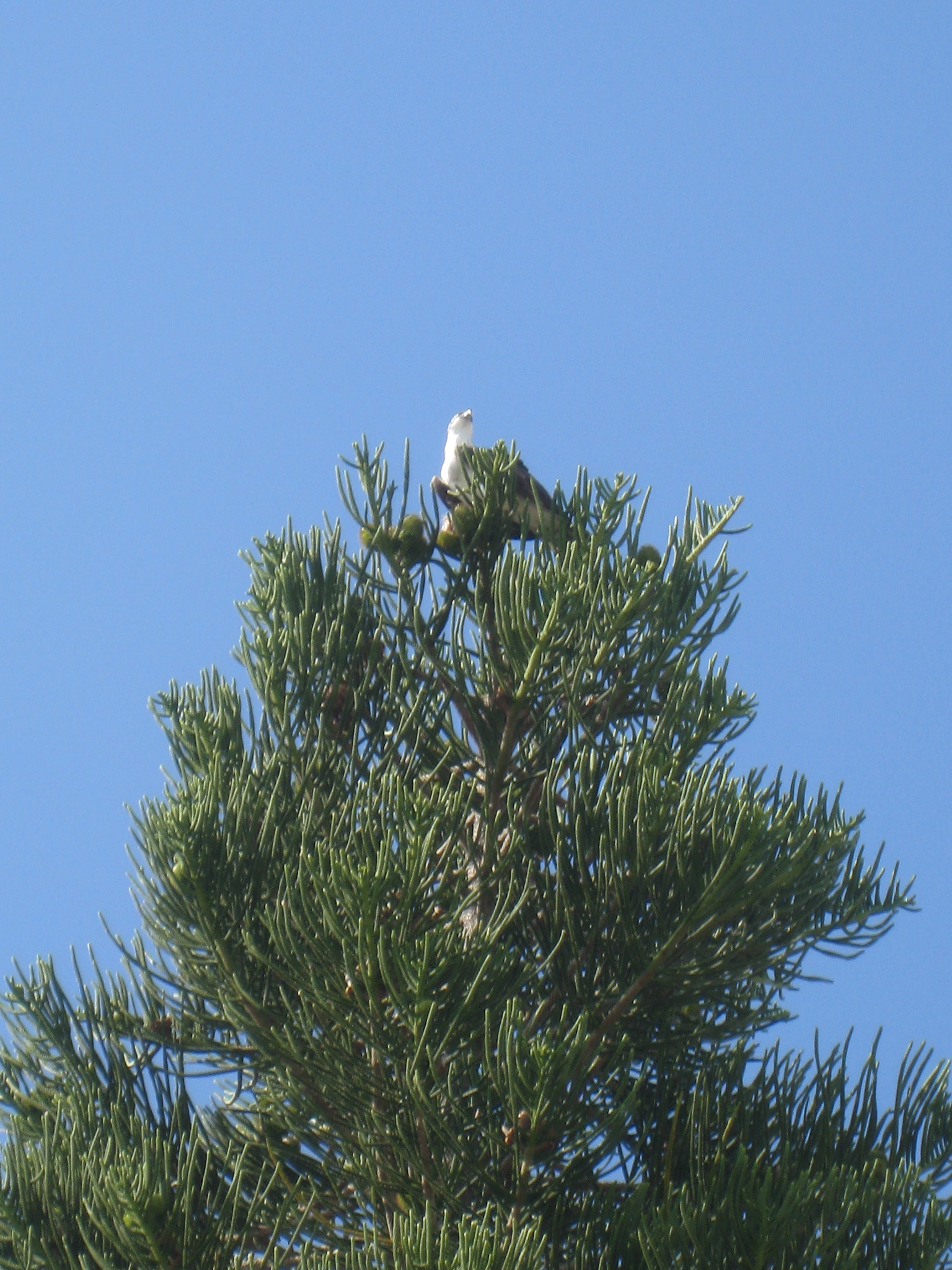 Osprey in top of tree in Florida