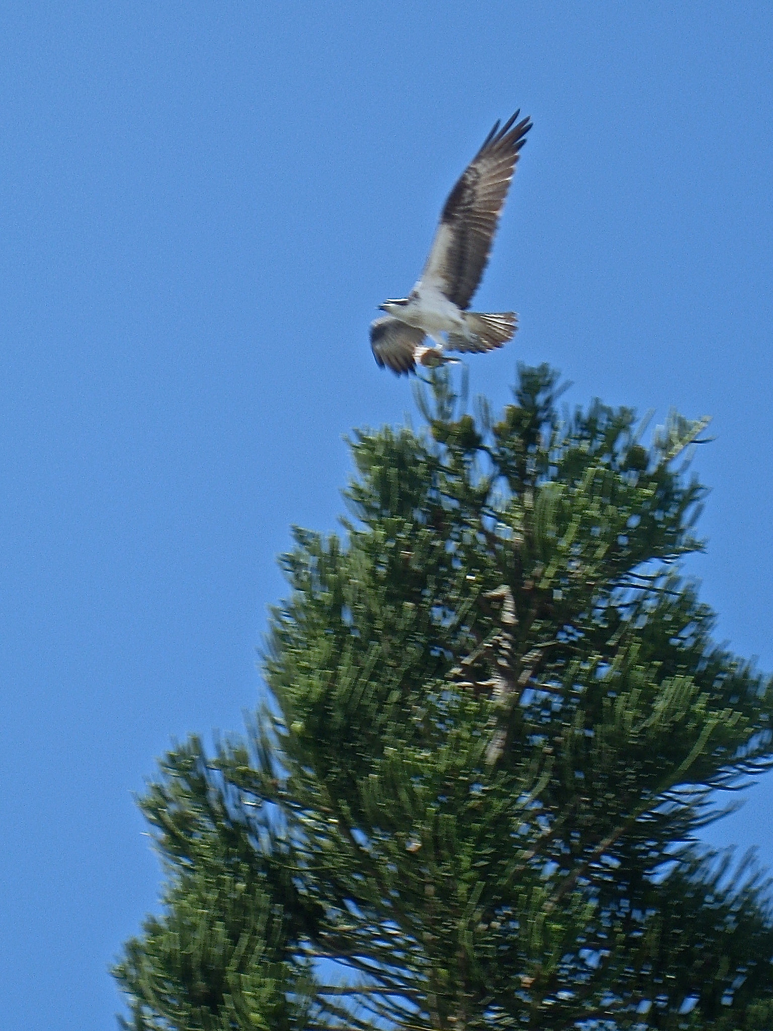 Osprey returning to nest in pine tree in Florida