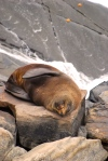 Fur seal on Kangaroo Island