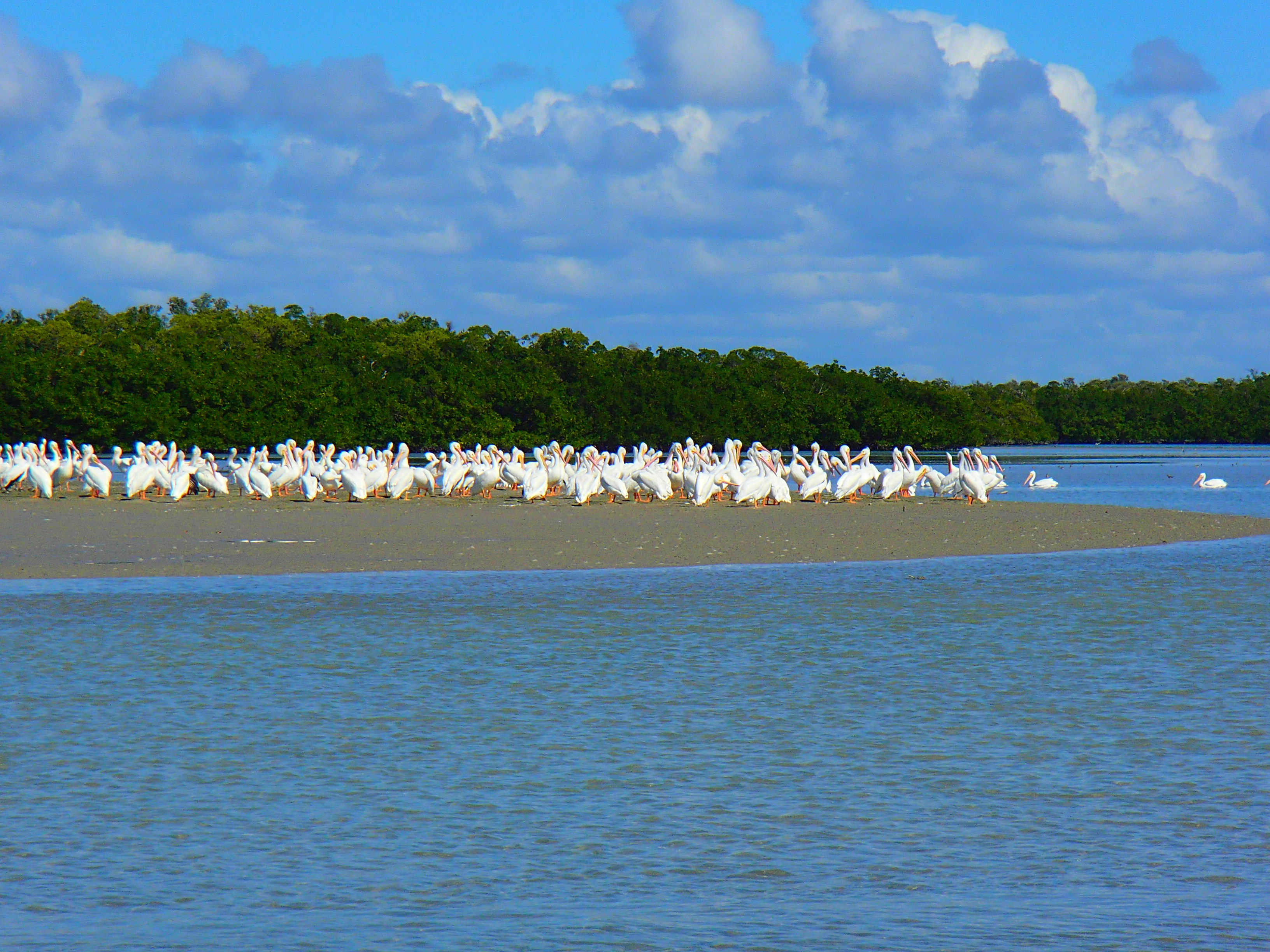 Hundred of white pelicans in the Everglades