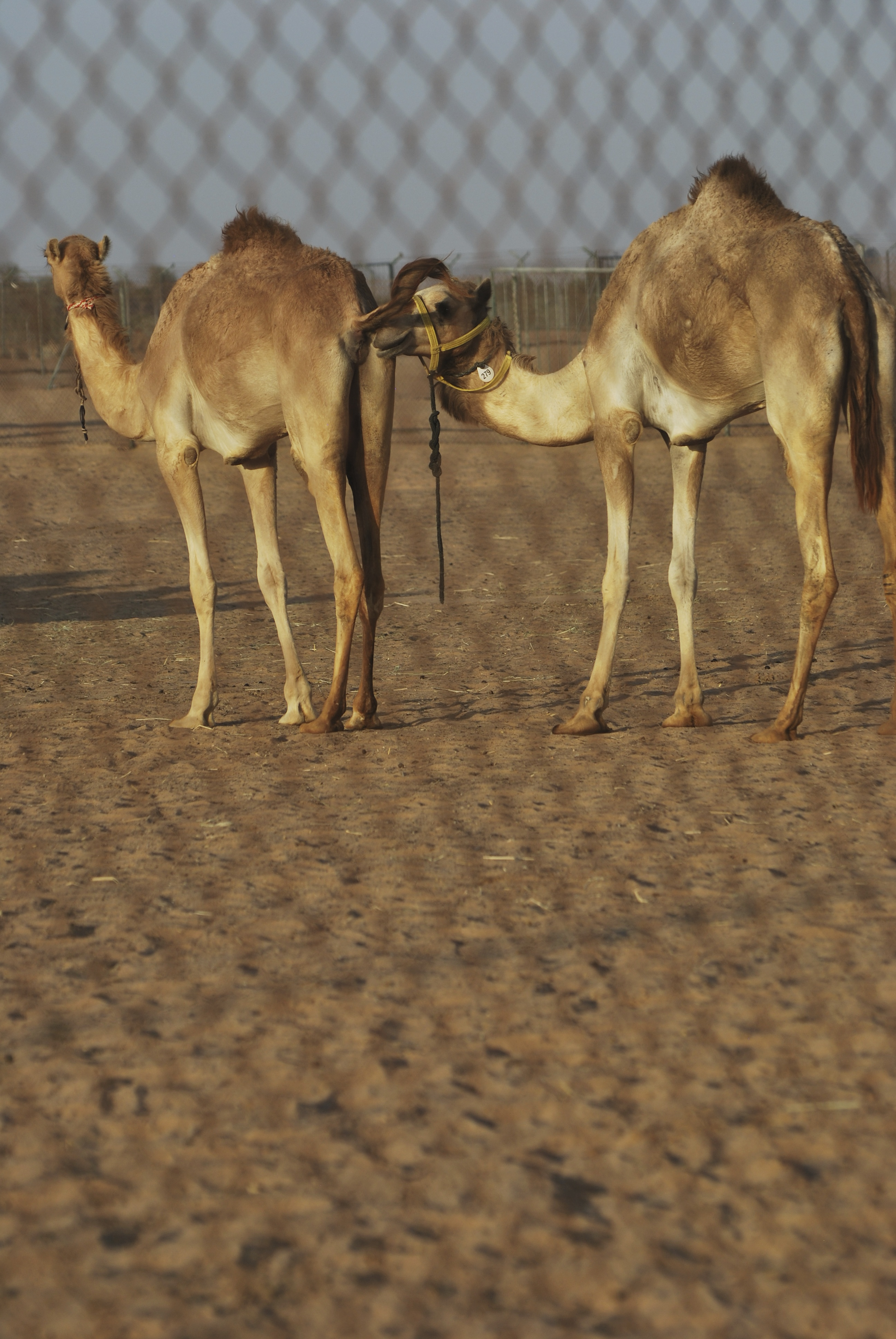 Two camels on a camel farm outside of Dubai