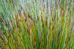 Grasses on Menorca