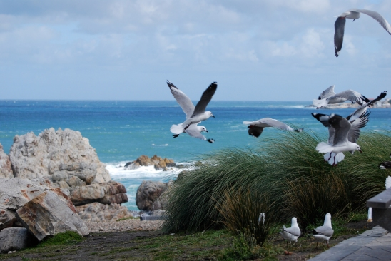 Sea gulls in Hermanus, South Africa