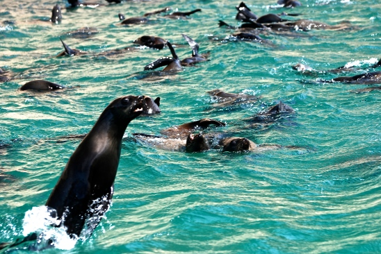 Cape Fur Seal Colony, Plettenberg Bay, South Africa