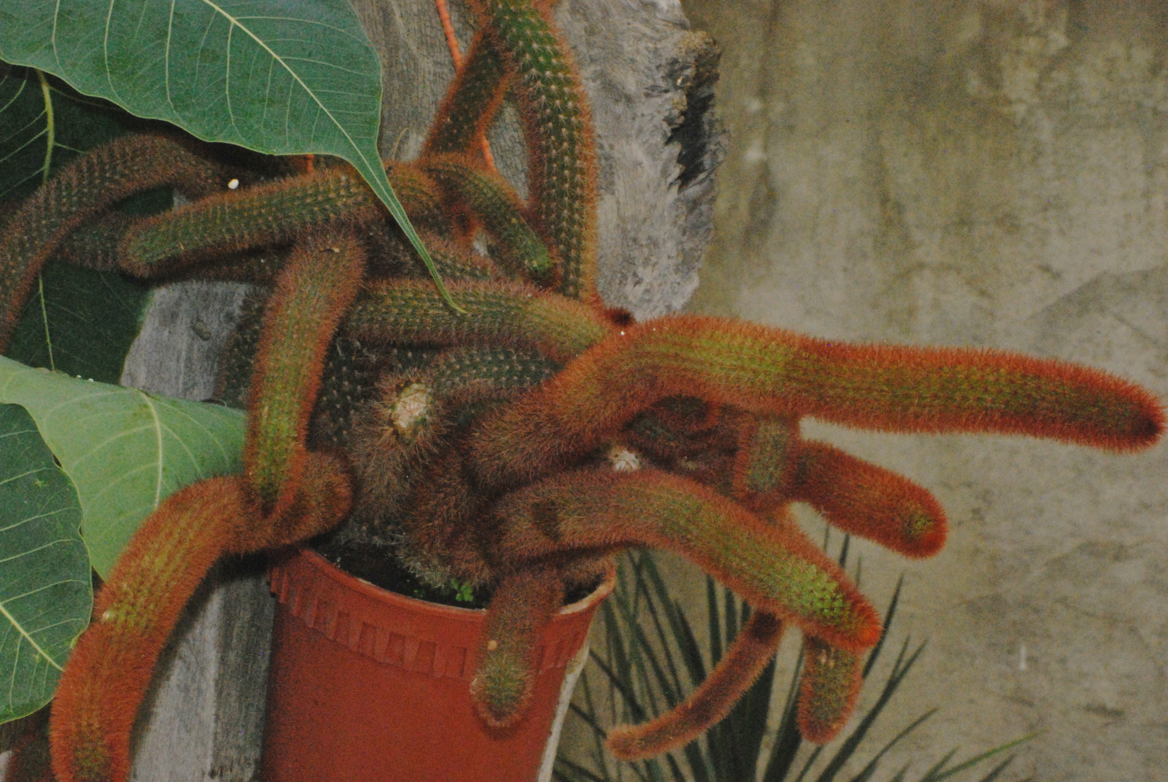 Cactus at Phuket Botanic Garden