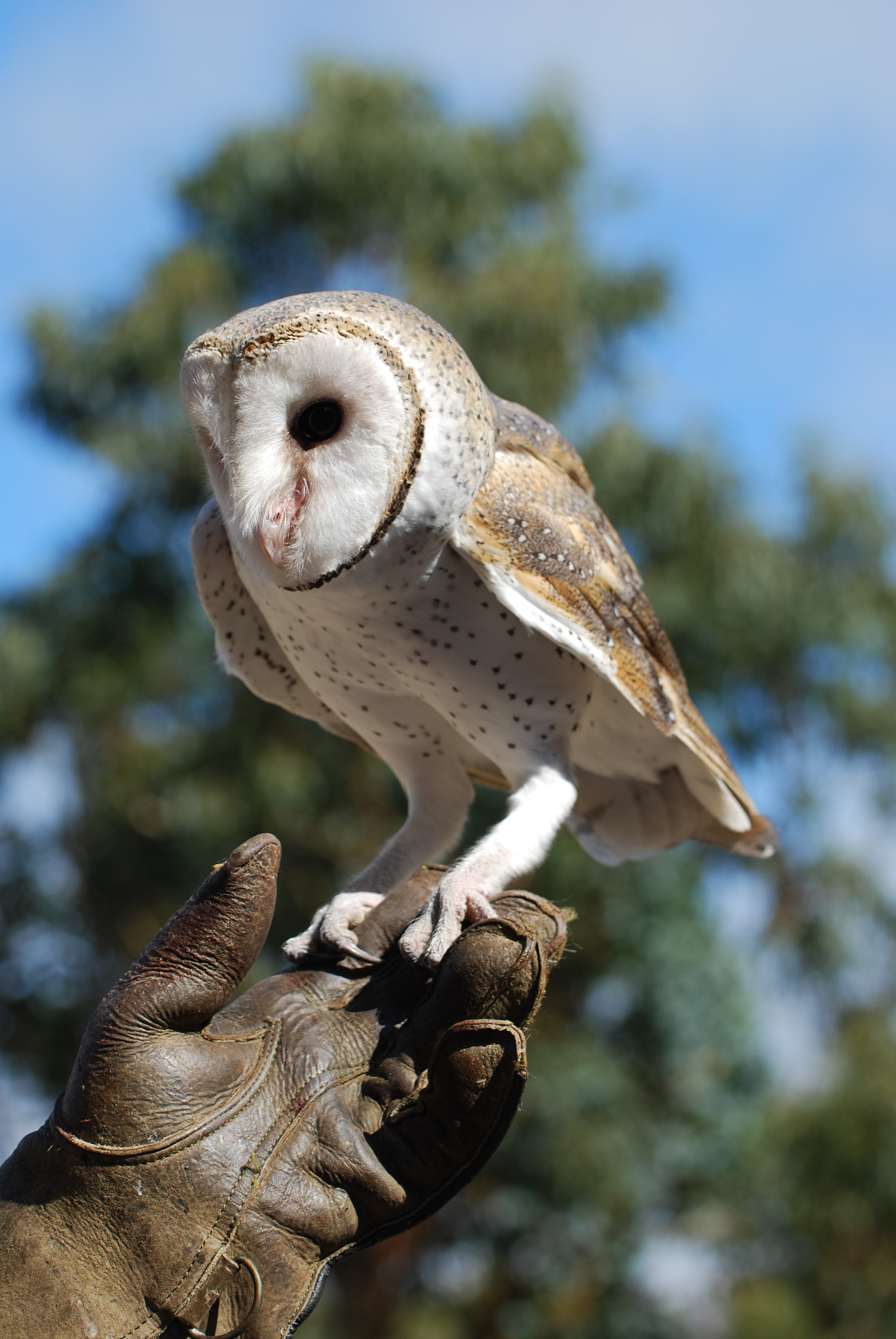 Barn owl on Kangaroo Island Australia