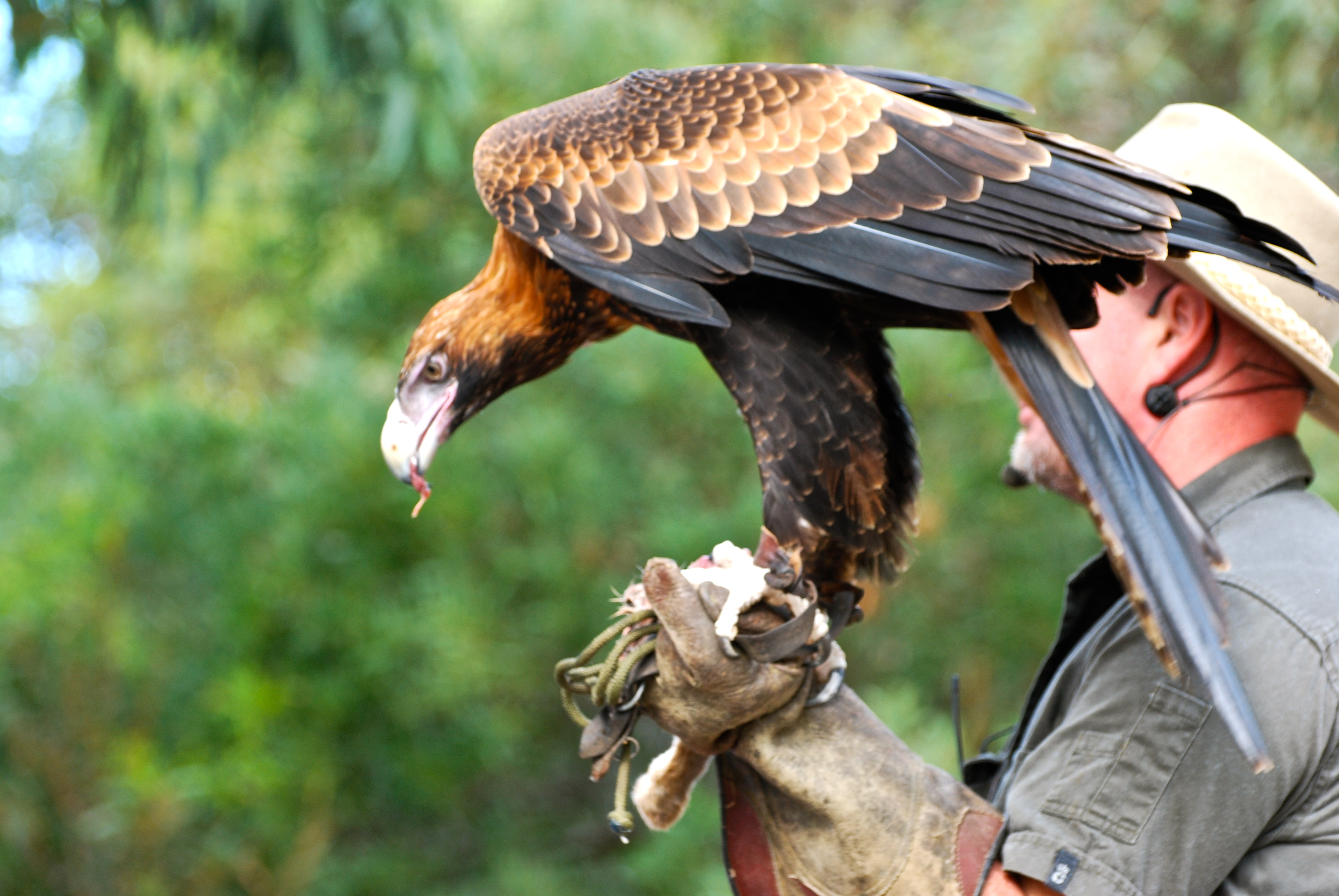 Raptor eagle on Kangaroo Island Australia