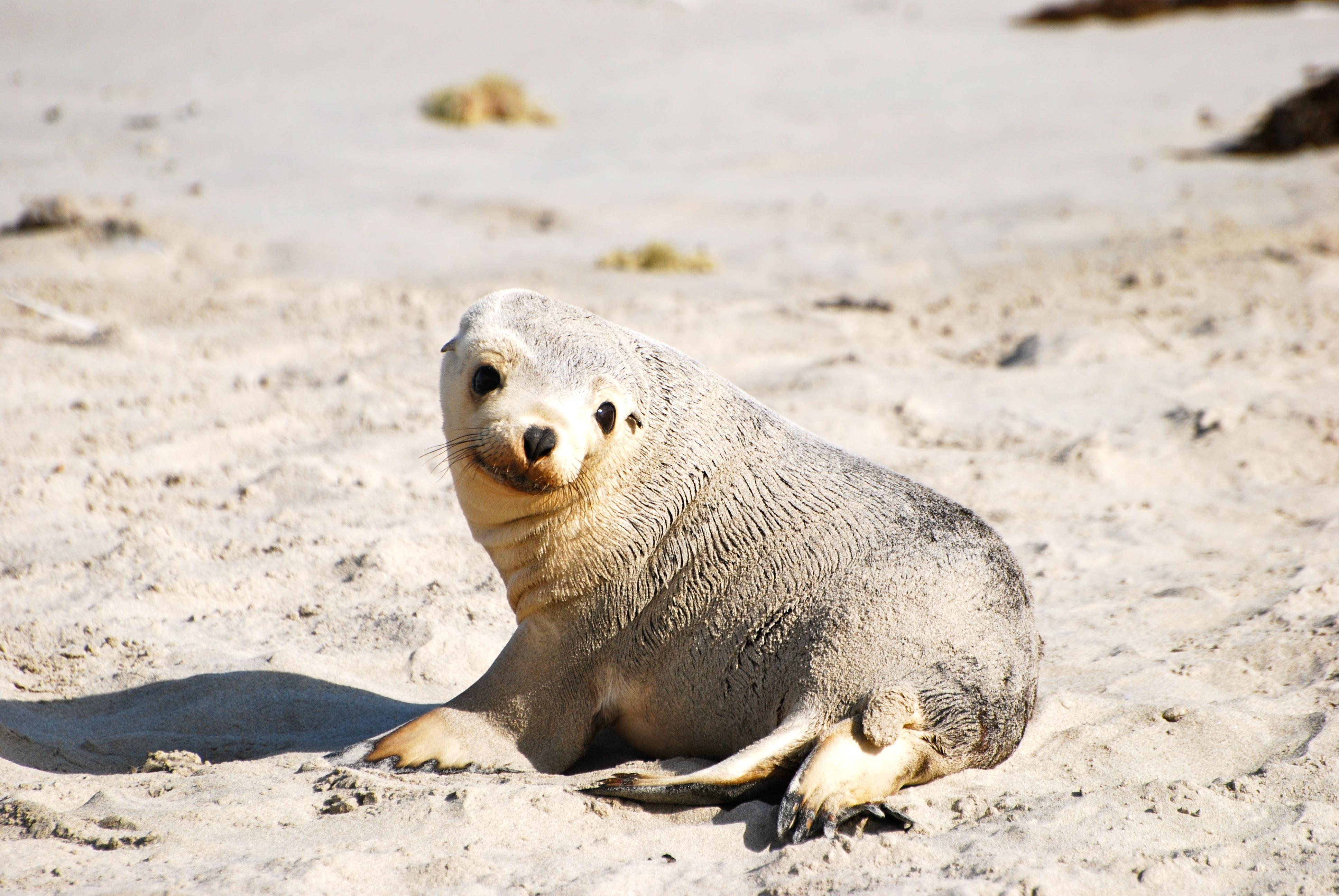 Sea lion pup on Kangaroo Island, Australia