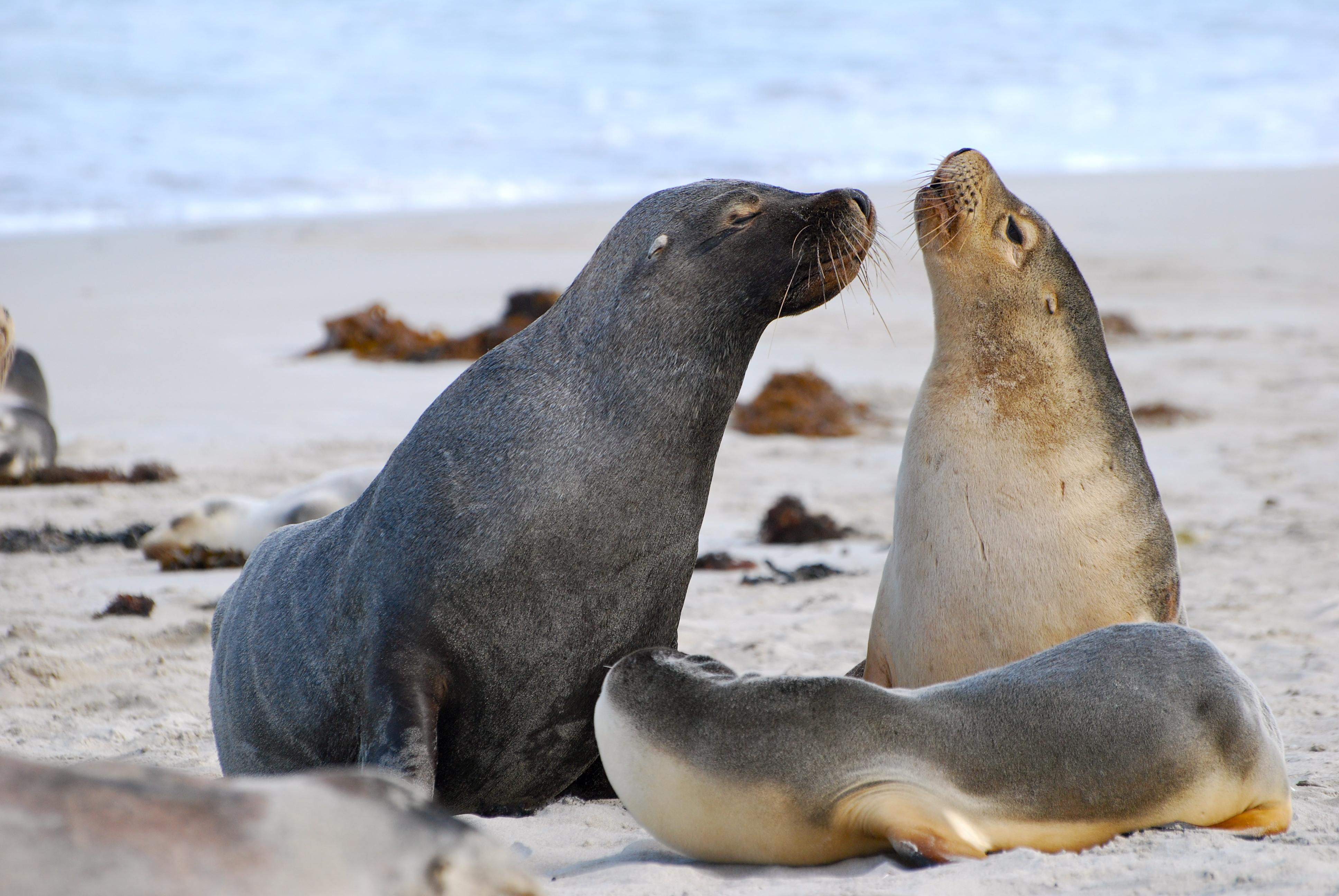 Sea lions on Kangaroo Island, Australia