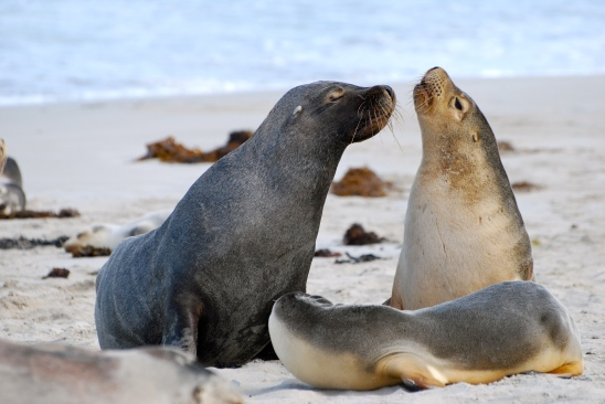 Sea lions on Kangaroo Island, Australia
