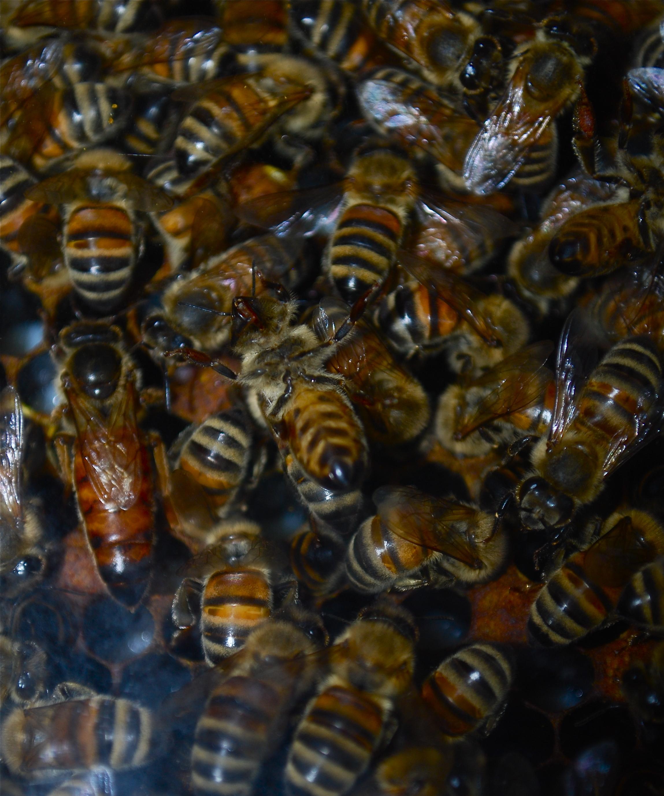 Ligurian honey bees on Kangaroo Island, Australia