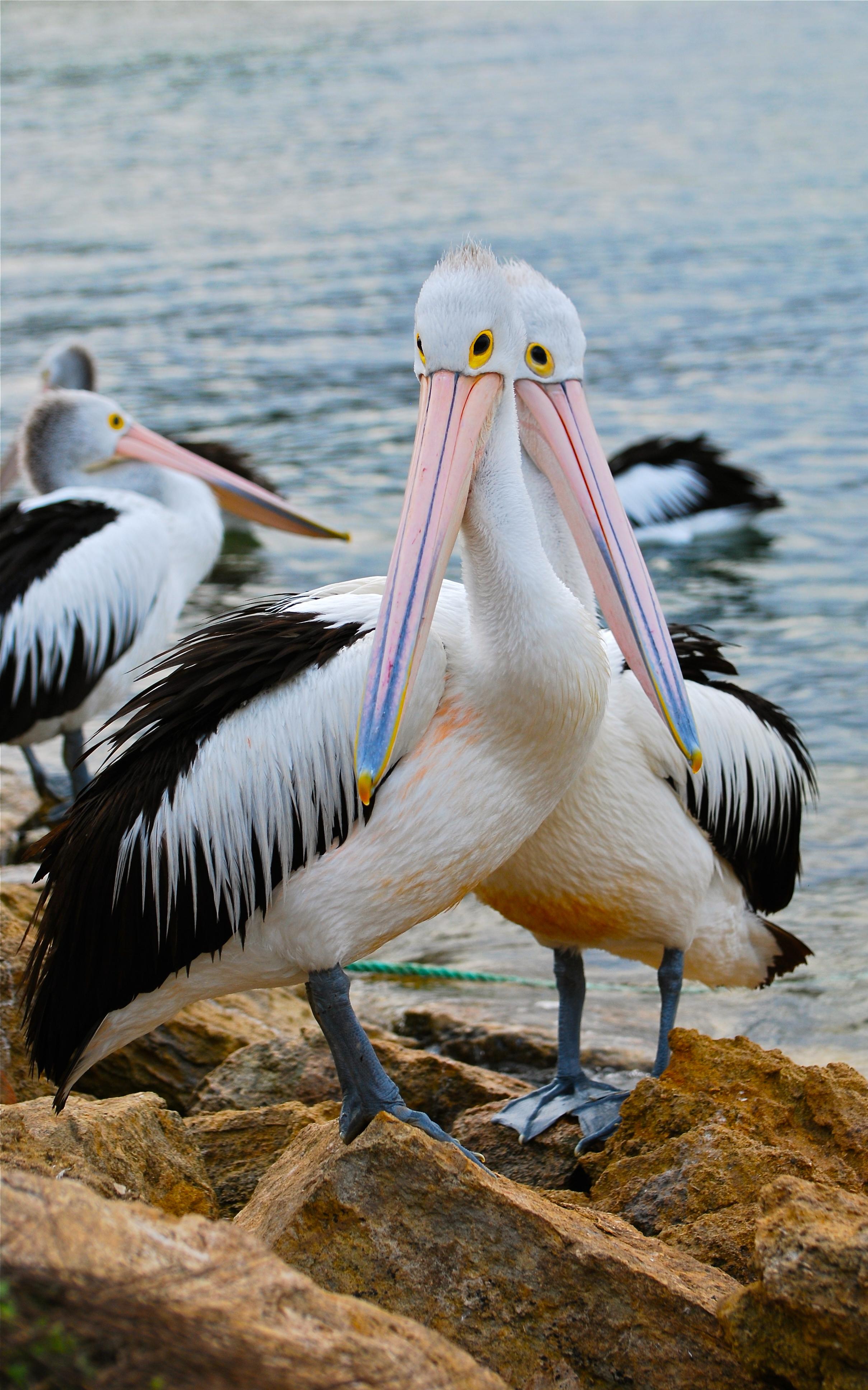 d pelicans on Kangaroo Island, Australia