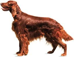 Irish Setter dog