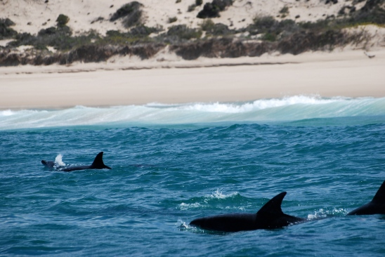 Bottlenose Dolphins in Plettenberg Bay, South Africa