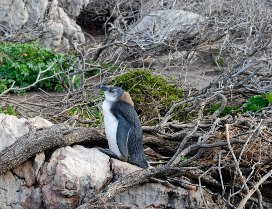African Penguin in Betty's Bay South Africa