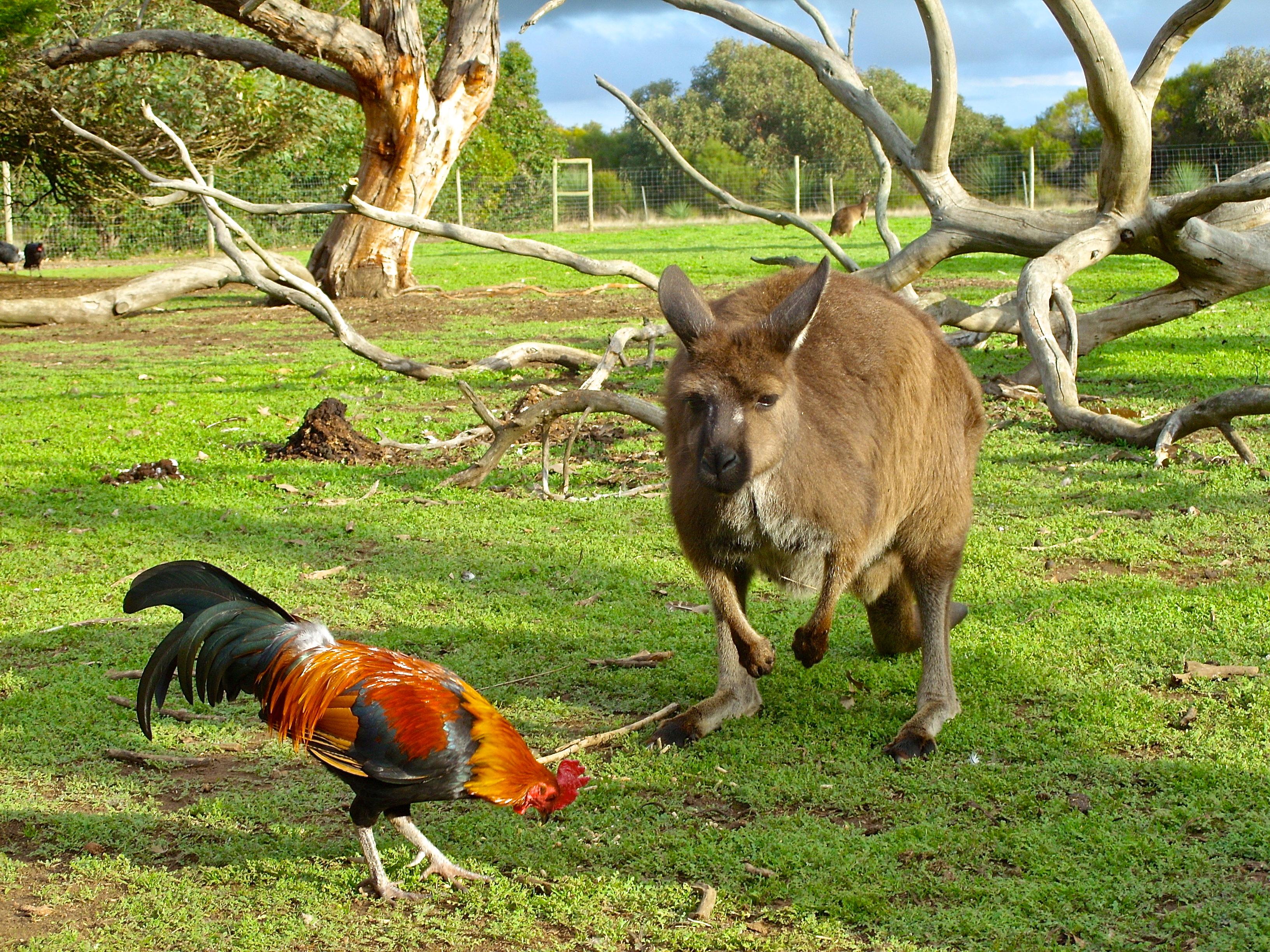 Kangaroo and rooster on Kangaroo Island Australia