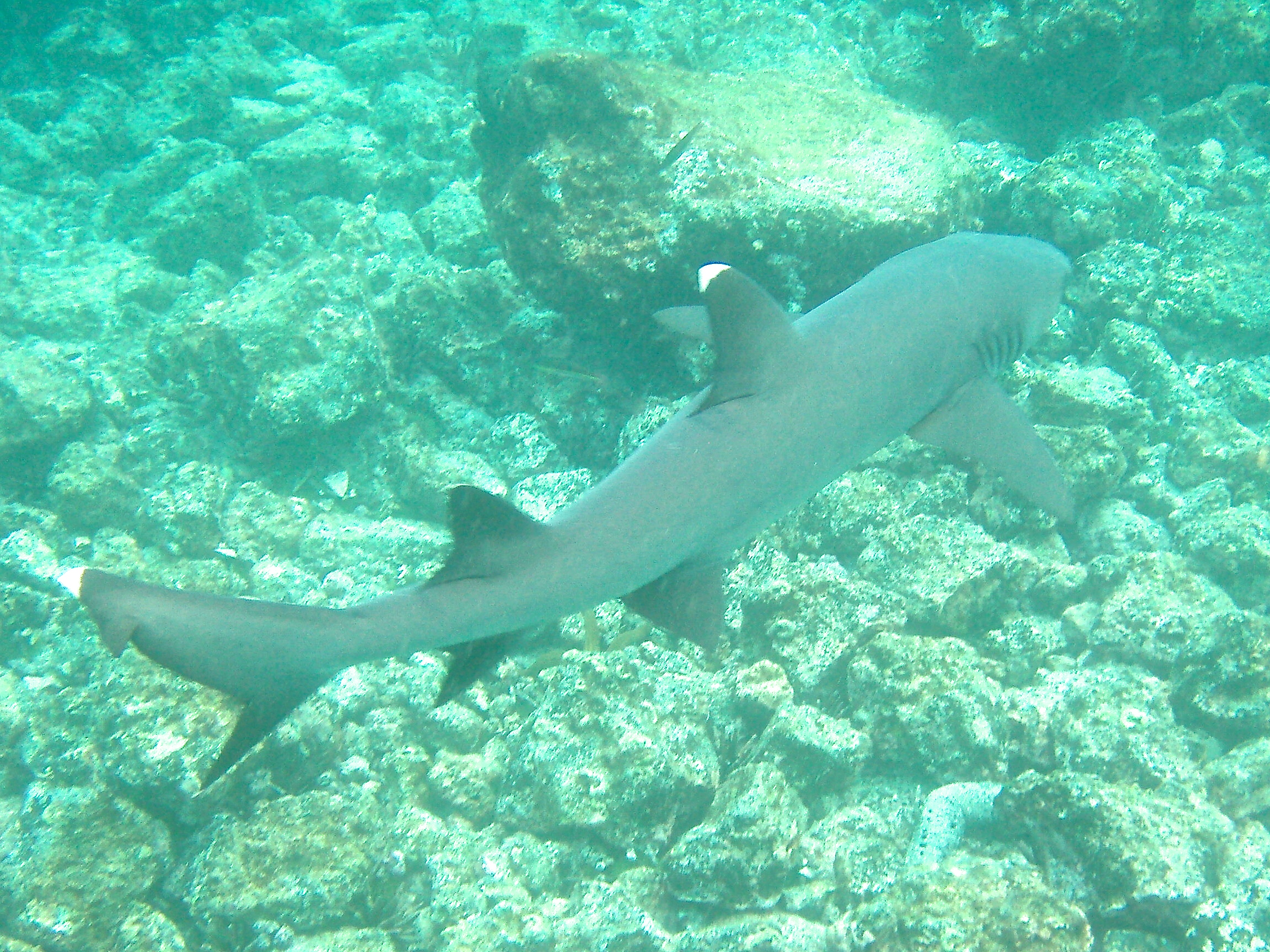 Reef shark in The Galapagos