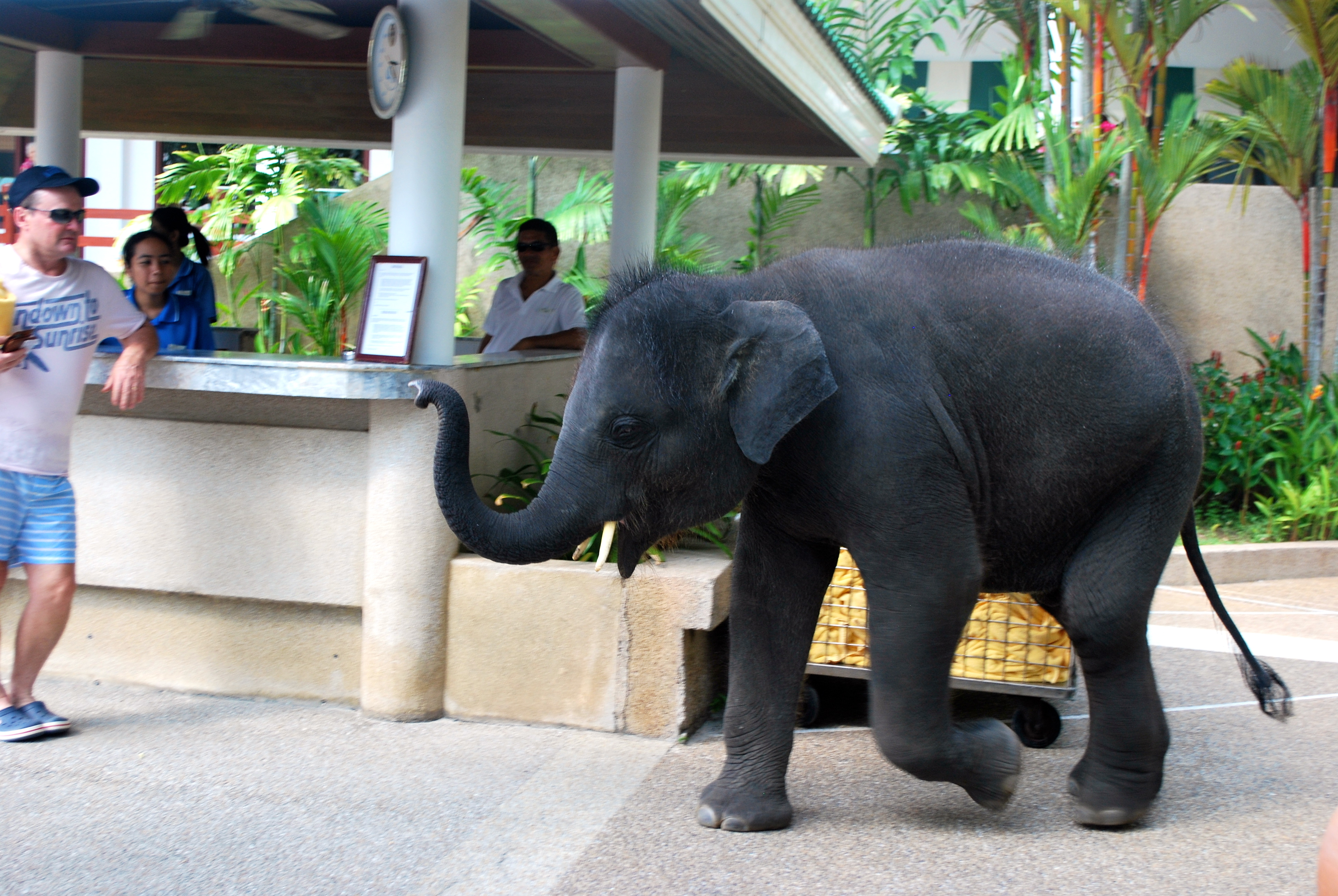 Valentine the elephant in Phuket at Le Meridien