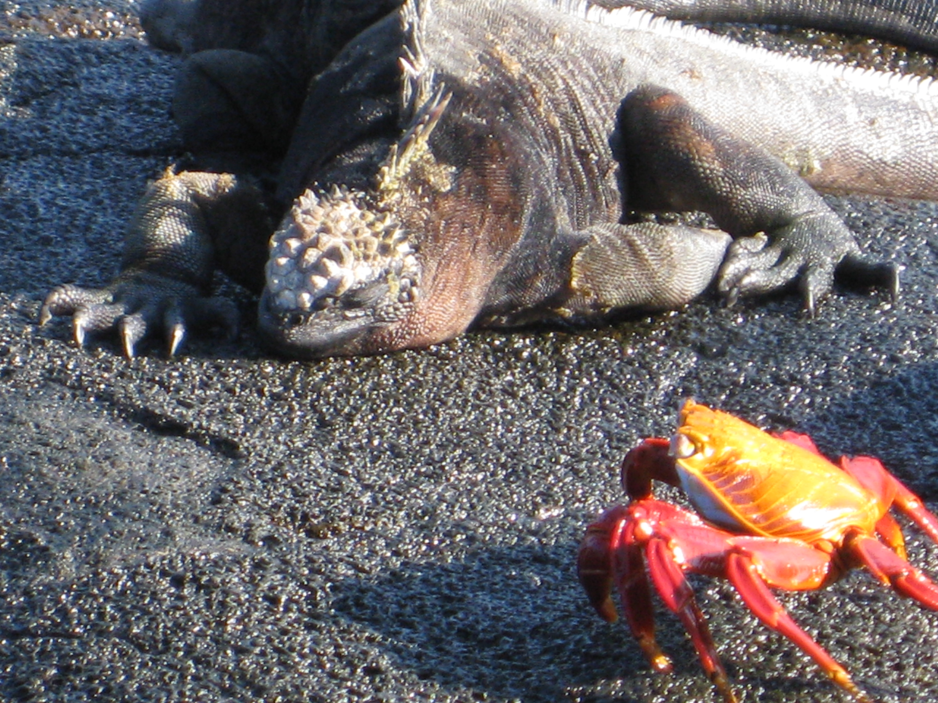 Galapagos marine iguana and Sally LIghtfoot crab