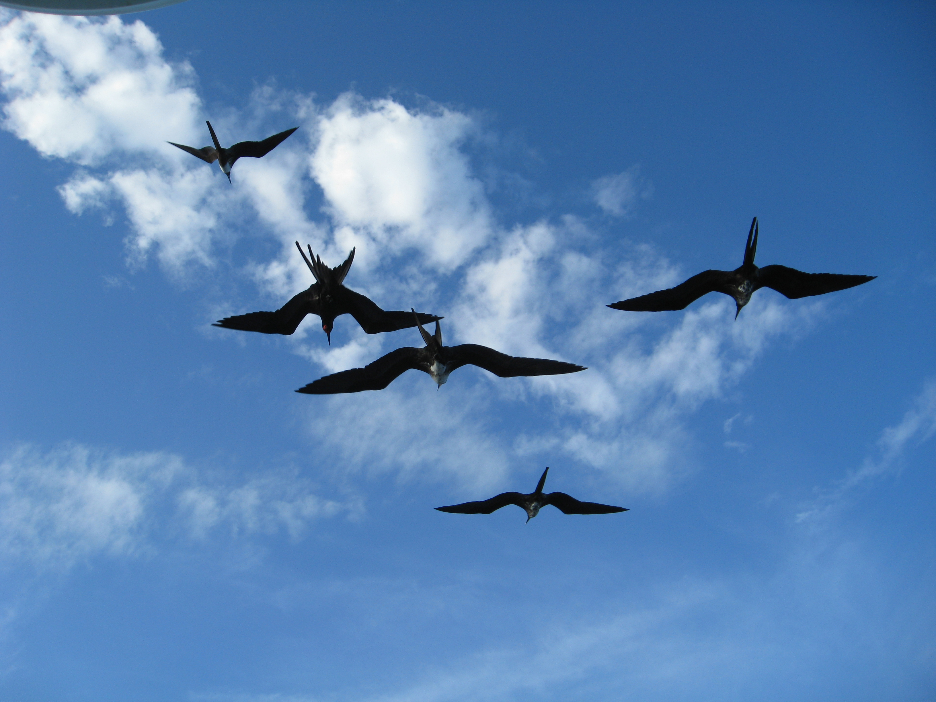 Regular frigate birds