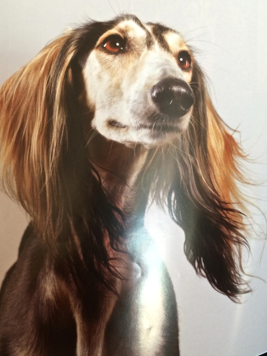 Brunette Saluki dog