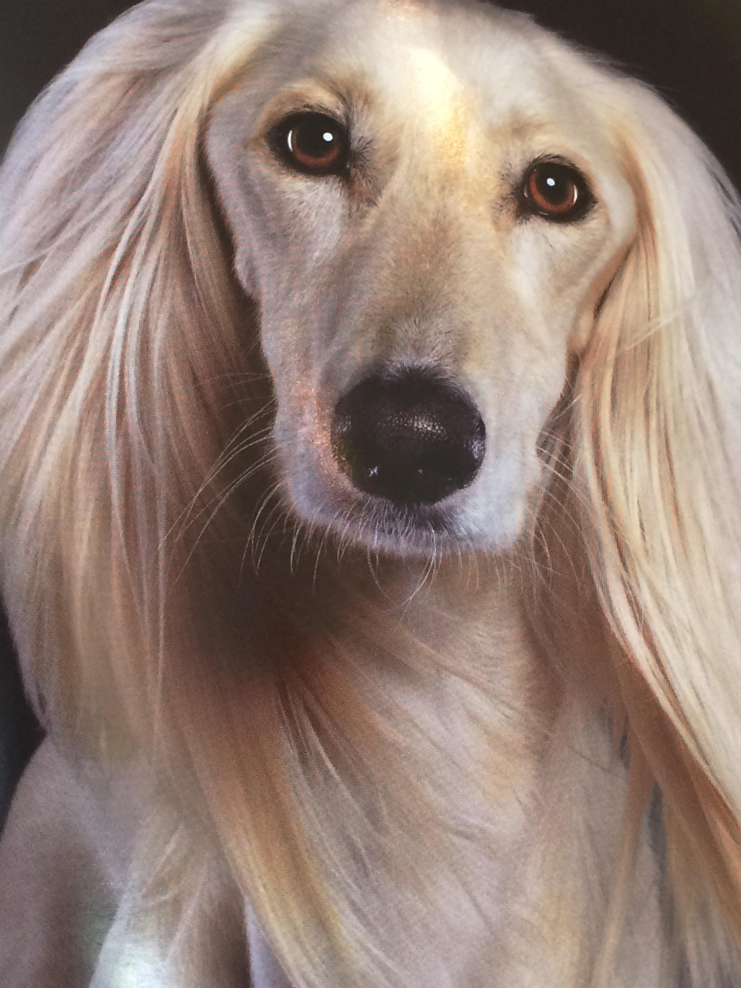 Blonde Saluki