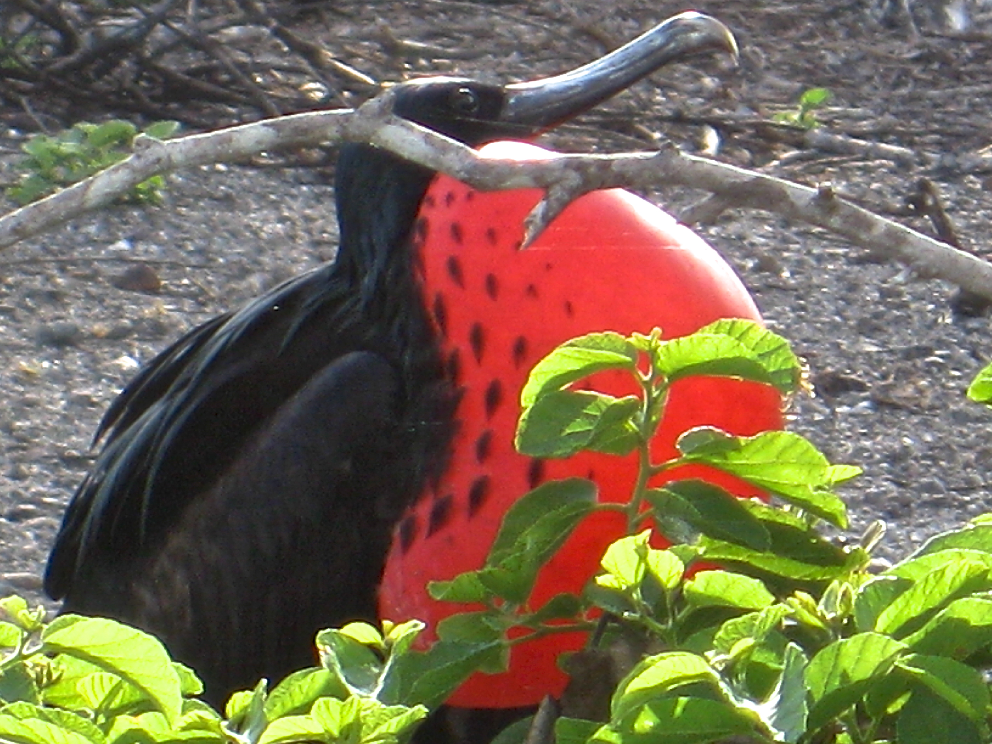 Magnificent Red throated frigate bird in the Galapagos Islands