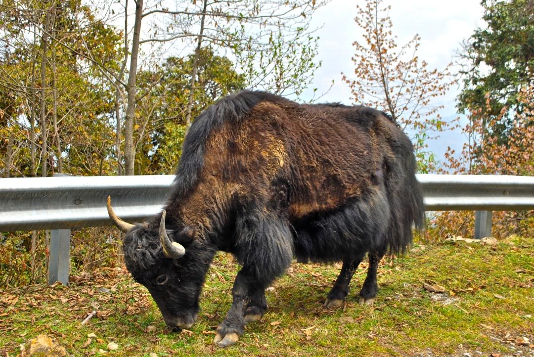 Bò Yak tại Bhutan. Đây cũng là loài động vật lừng danh nhất xứ Tây Tạng.